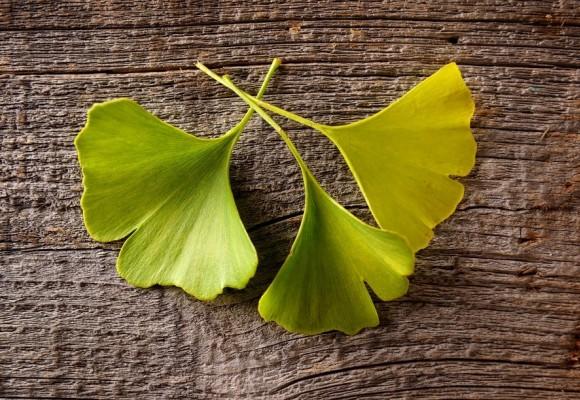 기억력, 혈액순환 개선제 징코빌로바 (Ginkgo Biloba) 은행잎 추출물의 효능