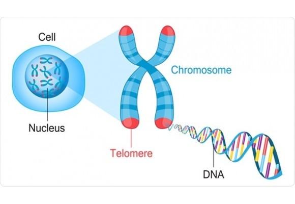 불로장생의 비밀, 생명시계 텔로미어(Telomere)