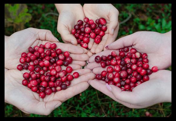 방광염 예방에 도움이 되고 강력한 항산화제인 베리의 여왕 크랜베리(Cranberry)
